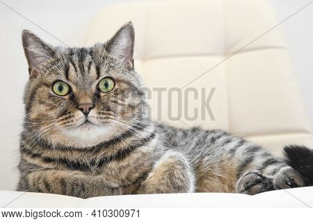 The Domestic Tabby Grey Cat Lying On A Soft Chair. Indoor Cat Resting.