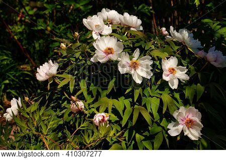View Of Pastel Rosa-white Peony (paeony) Flowers In The Spring Garden. Macro Photography Of Nature.