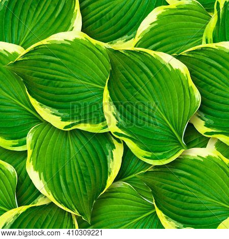 Seamless Pattern Of Hosta Leaves. Chaotic Arrangement Of Leaves. Bright Juicy Greens. Surface Covere