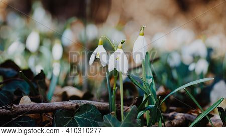 White Tender Flower Primrose Snowdrop. Galanthus Nivalis Flowers. Concept Of Spring And The Wakeup O