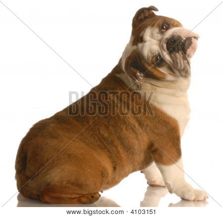english bulldog sitting with her head tilted on funny angle poster