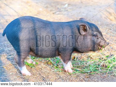 One Cute Little Black Mini Pig In The Meadow Looking For Food. Farm Concept. Black Piglet Together A