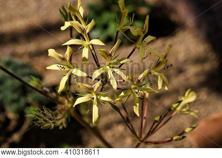 Close-up Of Pelargonium Oblongatum Flowering Succulent Plant. Macro Photography Of Nature.
