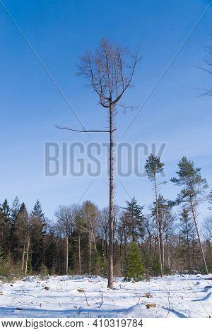 Single Dead Tree In A Snowy White Forest