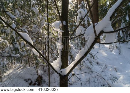 Small Tree Branch Covered With Fresh Snow