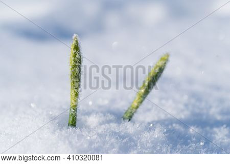 Early Daffodil Flower Bud Surprised By The Snow