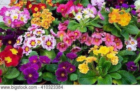 Primrose Is Multicolored In Full Bloom. Primula Vulgaris Blooms