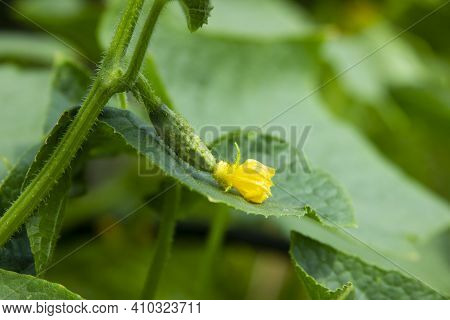 Cucumber. Young Fruit Is Ripening On The Vine. Ovary And Flower On The Green Leaf Close-up. Crop In