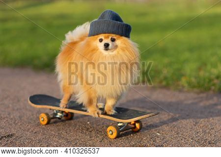 Dog And Sports. Cool  Pomeranian In Hat Riding In Skateboard, Looks At The Camera. Creative Pet. Tra