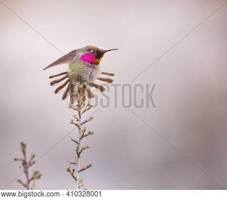 wintering male anna's hummingbird showing his display on a sagebrush plant