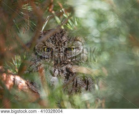 western screech owl peeking through a pine tree