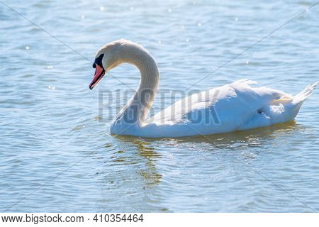Graceful White Swan Swimming In The Lake, Swans In The Wild. Portrait Of A White Swan Swimming On A
