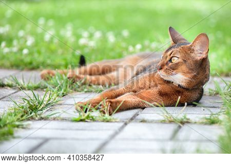 Abyssinian Cat In Collar, Lying In Juicy Green Grass. High Quality Advertising Stock Photo. Pets Wal
