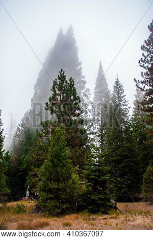 Foggy morning in the forest. Sequoia Park in California, USA. The natural range of the genus is the Pacific coast of North America. Travel to America.