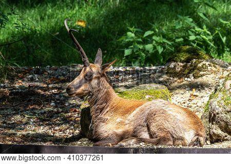 Apennine Chamois, Rupicapra Pyrenaica Ornata, Is Living In The Abruzzo-lazio-molise National Park In
