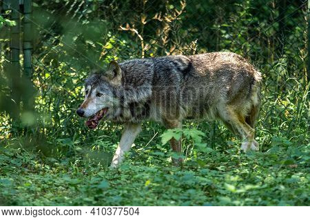 The Wolf, Canis Lupus, Also Known As The Grey Wolf Or Timber Wolf Is A Canine Native To The Wilderne