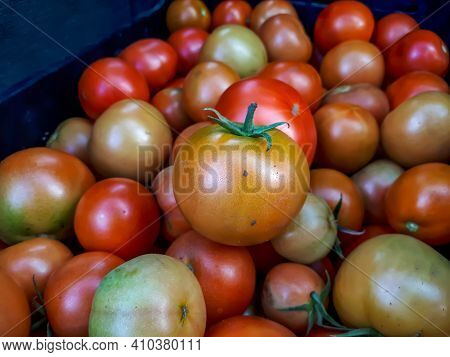 Big Box Of Homegrown Ripe And Unripe Tomato Harvest. Different Stages Of Maturing Tomatoes - Green,