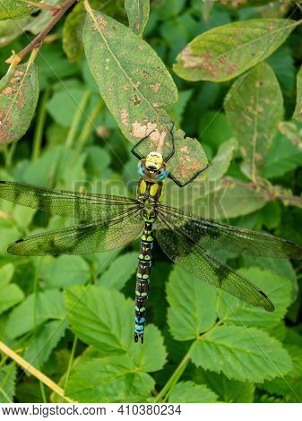 Closeup Shot Of The Dragonfly The Southern Hawker Or Blue Hawker Sitting On Leaf Surrounded With Gre