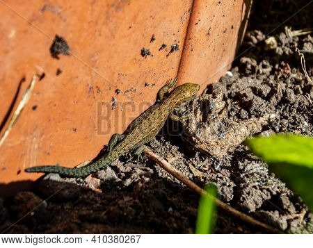 Viviparous Lizard Or Common Lizard Sunbathing In The Brigth Sun On The Ground Near The Wall