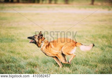 Malinois Dog Play Jumping Running Outdoor In Park. Belgian Sheepdog Are Active, Intelligent, Friendl