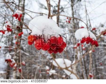 A Bunch Of Red Fruits (berries) Of Flowering Plant Guelder Rose In Winter