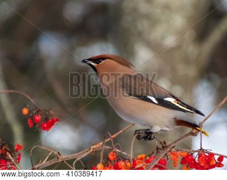 Bohemian Waxwing Sitting On Branches Of Guelder Rose And Eating Red Fruits In Winter