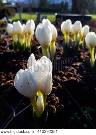 Blooming White Colchicum Flowers In The Garden Covoerd With Water Drops