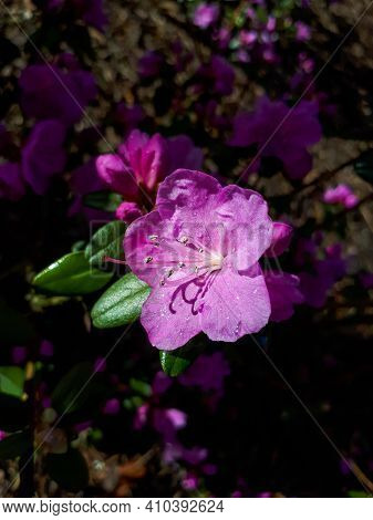 Macro Shot Of Flowering Rhododendron Shrub With Lilac Flowers In Early Spring