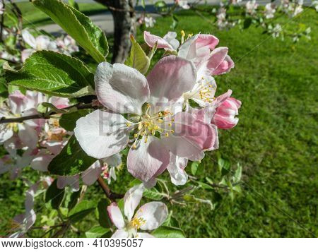 Closeup Of Pink And White Flowers Of Apple Tree On Green Background