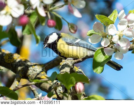 Closeup Of Curious Great Tit (parus Major) Sitting On The Branch In An Apple Tree Blooming With Whit