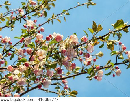 Closeup Of Pink Buds And White Flowers Of Apple Tree On Blue Sky Background