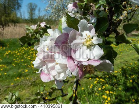 Closeup Of Pink And White Flowers Of Apple Tree On Green Background With Yellow Flowers