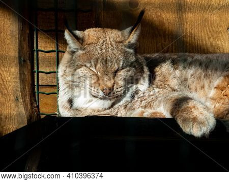 Portrait And Close-up Of Wild Cat The Eurasian Lynx (lynx Lynx) Sitting And Sleeping In Enclosure On