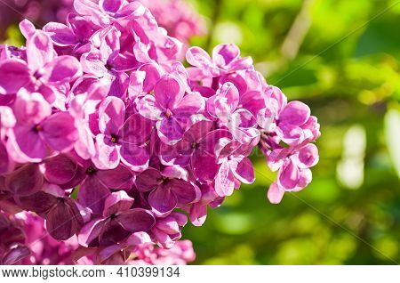 Lilac pink flowers,pink lilac in the spring garden.Focus at the central pink lilac flowers,spring landscape with pink lilac,pink lilac flowers,pink lilac in blossom,pink flowers in bloom,pink lilac in the garden