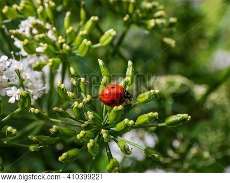 The Adult Two-spot Ladybird (adalia Bipunctata) Top View, In A Green Flower In Sunlight On Summer. T