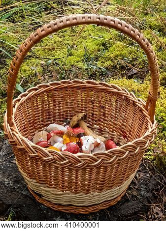 Wooden Basket On The Tree Stem Full With Colorful Mushrooms - Russula Rosea, Chanterelles. Mushroom
