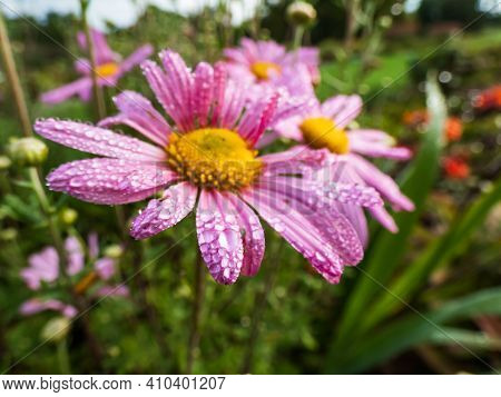 Perfect Round Water Droplets On Pink Sand-aster Petals