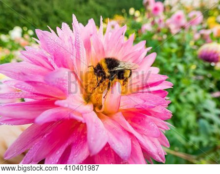 Macro Shot Of Bumble Bee Collecting Pollen From Bright Pink Garden Dahlia Blossom In Summer