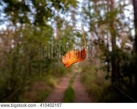 Close Up Of A Single Orange And Brown Dry Leaf Falling In The Forest With Forest Road And Trees Back