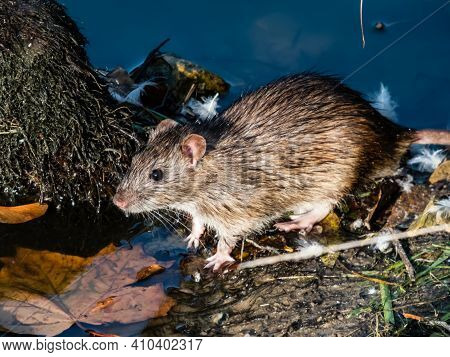 Common Rat (rattus Norvegicus) With Dark Grey And Brown Fur Near The Blue Background And Orange Mapl
