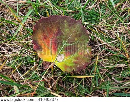 Aspen Leaf In Autumn On The Ground. Fall Pigments In A Leaf Changing Colors. Leaf With Green, Yellow