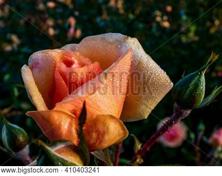 Close Up Of Beautiful Perfect Peach Colour Rose With Dew Drops On Petals. Inspiring Macro Shot Of Ro