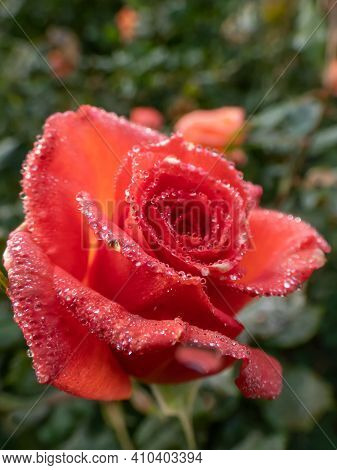 Close Up Of Red Rose With Dew Drops On Petals Early In The Morning. Nature Details. Wet Rose Backgro