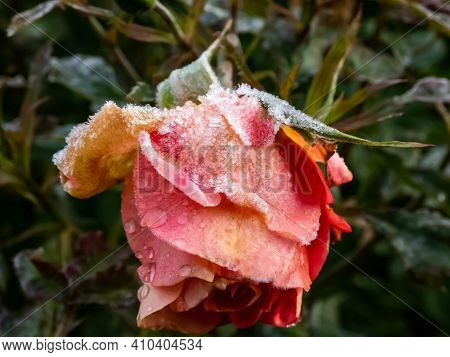 Close-up Of Beautiful Frozen Red And Orange Rose Covered With Early Morning Frost
