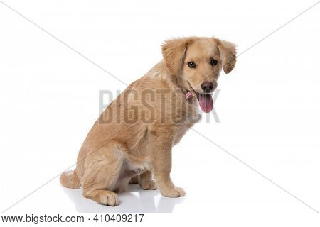 side view of labrador retriever puppy wearing pink bowtie, sticking out tongue and panting, sitting isolated on white background in studio