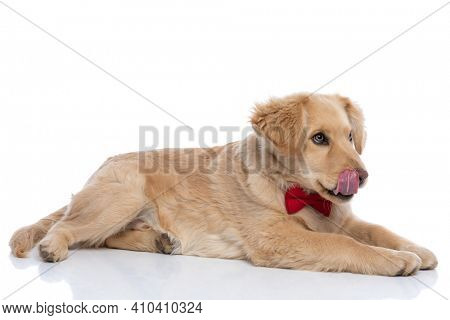 side view of adorable golden retriever puppy wearing red bowtie, licking nose and looking to side, laying down isolated on white background in studio
