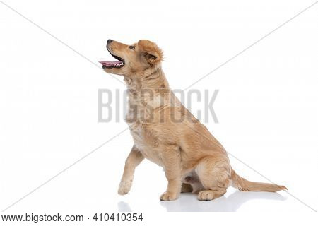 excited cute golden retriever dog curiously looking up, sticking out tongue and panting, sitting isolated on white background in studio