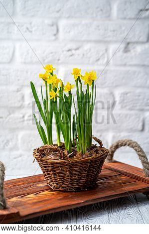 Spring Daffodils Stand In A Woven Basket On A White Background. There Are Flowers On The Table In A