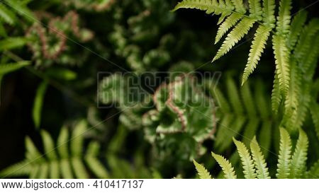 Euphorbia Crested Evergreen Desert Plant Cultivated As Ornamental In Garden. Succulents Background,