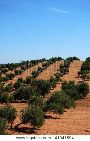 Olive grove, Bornos, Andalusia, Spain.
